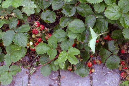 Overrun with strawberries